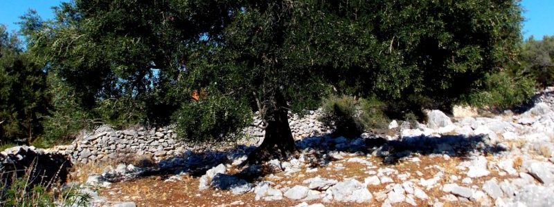 Olivenbaum im Berggebiet der Internet site, bezogen auf Kalamon – Oliven