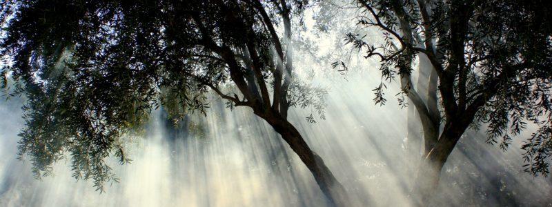 Δέντρα Ελιάς στην ομίχλη Διαδικτυακού Τόπου που αναφέρεται σε Ελιές Καλαμών. Το Ελαιόδεντρο, Ελιά, Tο Ευλογημένο Δένδρο, Olea Europea Sativa, Μεσογείου