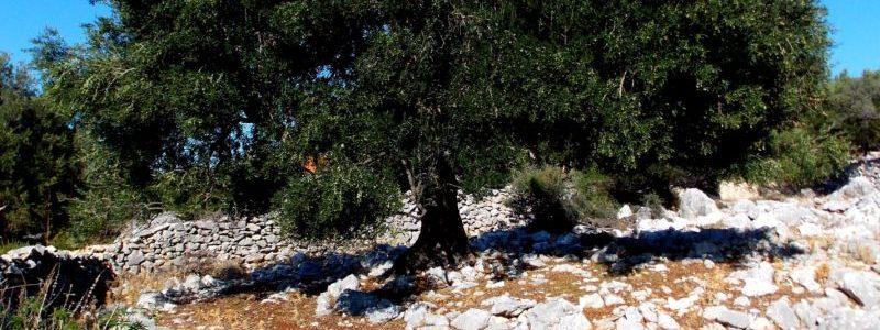 Δέντρο Ελιάς σε ορεινή περιοχή Διαδικτυακού Τόπου που αναφέρεται σε Ελιές Καλαμών. Το Ελαιόδεντρο, Ελιά, Tο Ευλογημένο Δένδρο, Olea Europea Sativa, Μεσογείου