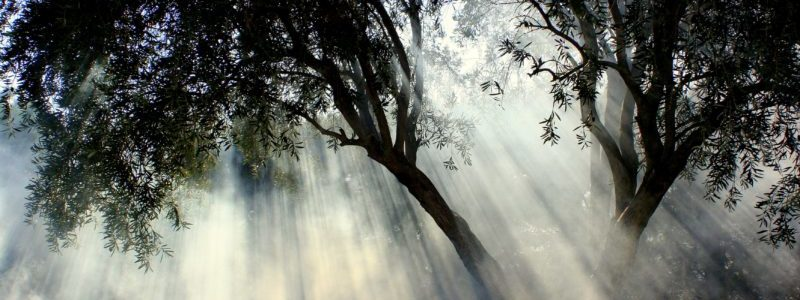 Оливковые деревья в тумане веб-страницы, связанной с Оливками Каламон