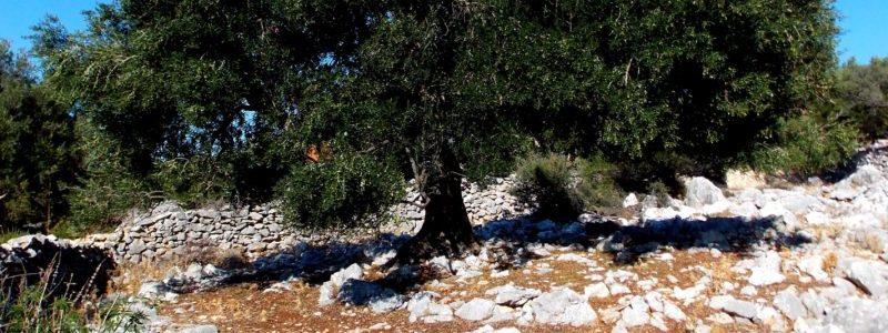 Оливковое Дерево в горной местности веб-страницы, связанной с Оливками Каламон