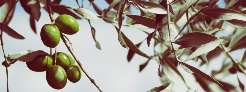 Ветвь Оливкового дерева с оливками веб-страницы, связанной с Оливками Каламон