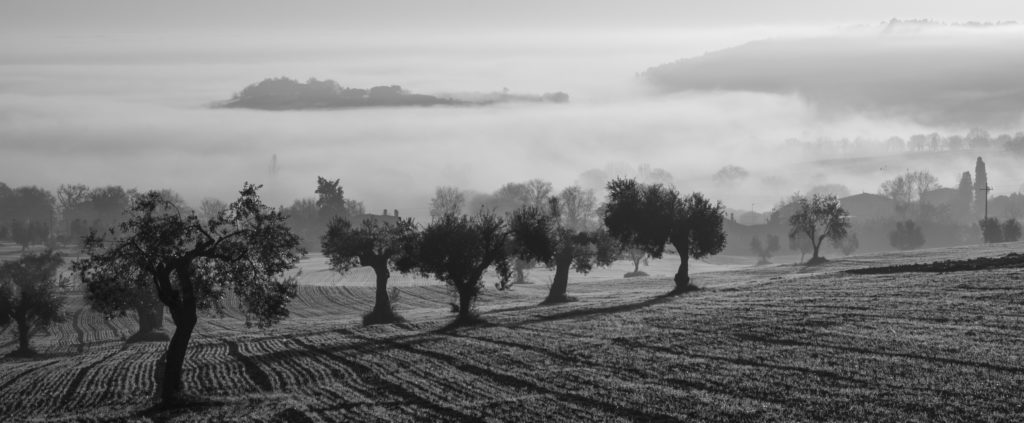 Olive Trees in fog from website which refers to Kalamon Olives