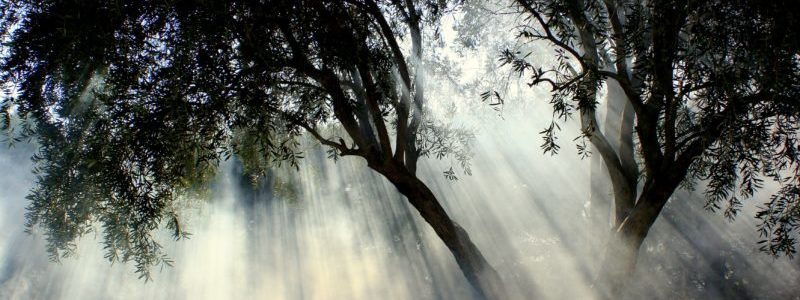 Olive Trees in fog of website which refers to Kalamon Olives