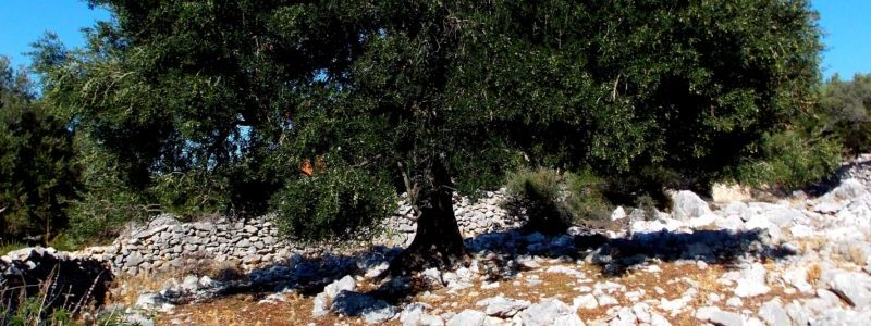 Olive Tree in mountainous region of website which refers to Kalamon Olives